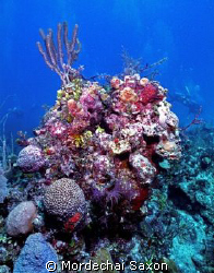 Reef near the David Tucker wreck in Nassau, Bahamas.  Sho... by Mordechai Saxon
