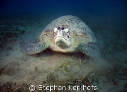 green turtle (chelonia mydas) taken at Na'ama Bay. by Stephan Kerkhofs