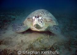 green turtle (chelonia mydas) taken at Na'ama Bay. by Stephan Kerkhofs