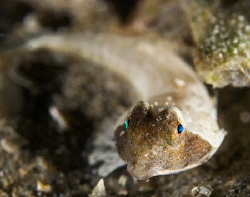 Close up of a local stinkfish.