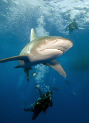 My first oceanic whitetip photo of the season. by Dray Van Beeck