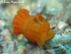 Inornate Gymnodoris (Gymnodoris inornata) one of the cann... by Brian Mayes
