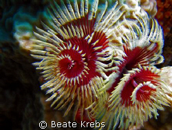 X-mas tree worm , taken at Bohol with Canon S70 and Macro... by Beate Krebs