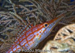 hawk fish,nikon d2x 60mm macro by Puddu Massimo