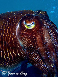 Cuttlefish in Pulau Tioman, Taken with Canon S1 IS, Inon ... by James Ong