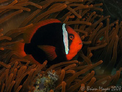 Tomato Anemonefish (Amphiprion frenatus) swimming amongst... by Brian Mayes