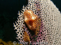nice flamingo tongue at two for you dive site  in parguer... by Victor J. Lasanta