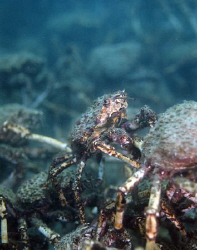Mass spider crab aggregations. Nikon d80, 60mm, 2 x ds 51... by Cal Mero