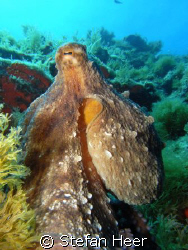 Octopus in France (July 08) taken with the Sea & Sea DX-1G by Stefan Heer