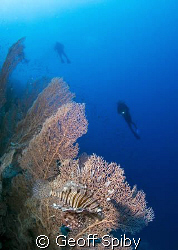 Lionfish and gorgonian fan at Little Brother by Geoff Spiby