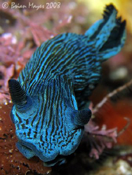Tambja nudibranch from Poor Knights. <><><> Canon G9, Ino... by Brian Mayes