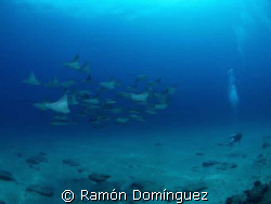 School of cownose rays at Cabo Pulmo marine park by Ramón Domínguez
