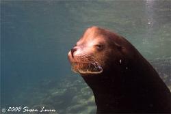 Snortin' bull sea lion, Los Islotes, La Paz, Mexico. Cano... by Susan Lunn