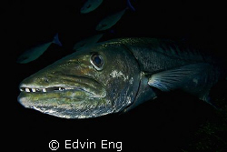 Fear Factor - Face to Face with a 2m long Great Barracuda... by Edvin Eng