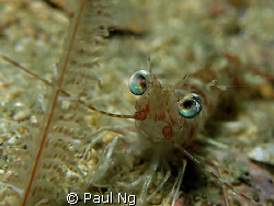 Smiley Prawn! Taken with Canon G9 with strobe and single ... by Paul Ng