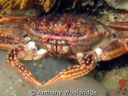 A common crab taken at Moonie Reef in Port Elizabeth Sout... by Anthony Wooldridge