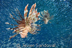 lionfish hunting by Javier Sandoval