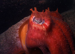 Giant Cuttle, Bare Island by Doug Anderson