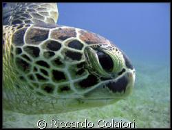 Abu Dabbab Turtle by Riccardo Colaiori