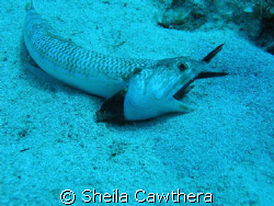 This fish had bitten off more than he could chew! Fortuna... by Sheila Cawthera