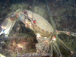 Crab on gthe prowl by Gary Beecheno