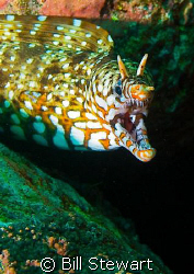 """Dragon Moray"" shot during a day trip to Osezaki, Izu Pen... by Bill Stewart"