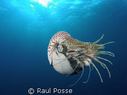 I was amazed! A Nautilus... never thought I had this enco... by Raul Posse
