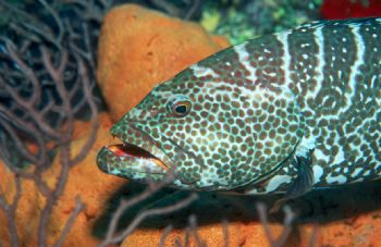 Nassau grouper taken in Grand Cayman with NikV, 20mm lens... by Beverly Speed