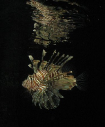 Evening Reflection of a Lionfish taken with a Canon Power... by Maria Munn