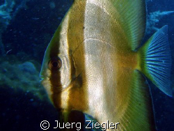 Close up of Bat Fish by Juerg Ziegler
