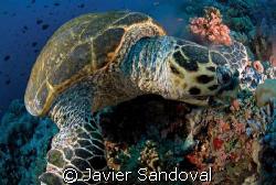 EATING TURTLE TIRAN ISLAND by Javier Sandoval