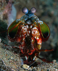 Mantis shrimp doing its spring cleaning (carrying out and... by John M Akar