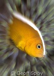 clownfish by Geoff Spiby