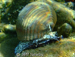A Giant Tun the size of a football by Jeff Newby