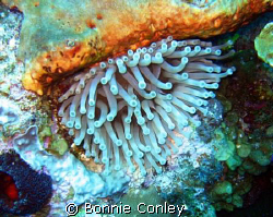 Anemone seen August 2008 in Grand Cayman.  Photo taken wi... by Bonnie Conley
