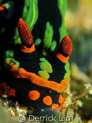 Nembrotha head close up, full frame, no cropping. Capture... by Derrick Lim