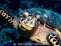 Green turtle. Canon 40D, Sigma 50 mm macro. by Alexander Nikolaev