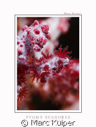 pygmy seahorse in lembeh strait. taken with canon 30D, ik... by Marc Kuiper