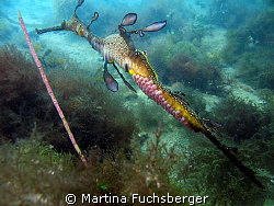 Weedy Seadragon with eggs.