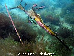 Weedy Seadragon with eggs. Taken under Flinders Pier, Me... by Martina Fuchsberger