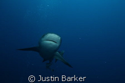 Bull Shark,off Ponto pinnacles. by Justin Barker