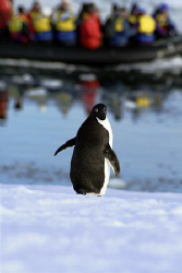 """Mum, the tourists are here...."" A penguin in the antarct... by Andrew Macleod"