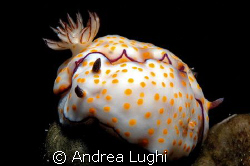 I love nudibranchs... but there are so many that it's not... by Andrea Lughi