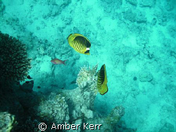 Two striped butterfly fishes in close to a branch of fire... by Amber Kerr