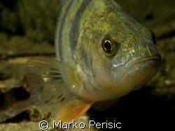 A freshwater Perch takes a look into the lens on a night ... by Marko Perisic