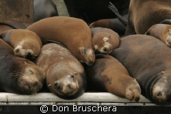 Space is tight! California Sea Lions crowd a dock in the ... by Don Bruschera