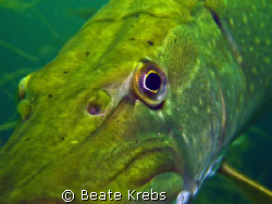 Northern pike > very close < Not shy , taken with Canon S70 by Beate Krebs