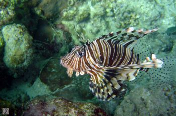"""no fear"" this scorpion fish gides infront of me. taken i... by Jabin Gamaliel B. Detabali"