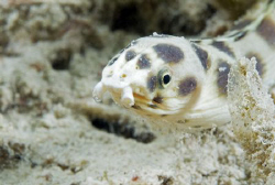 Spotted snake eel. by Dray Van Beeck