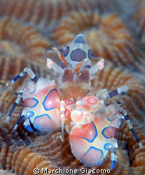 Arlequin shrimp ,the King Manado 2008. Nikon D200, 105 m... by Marchione Giacomo